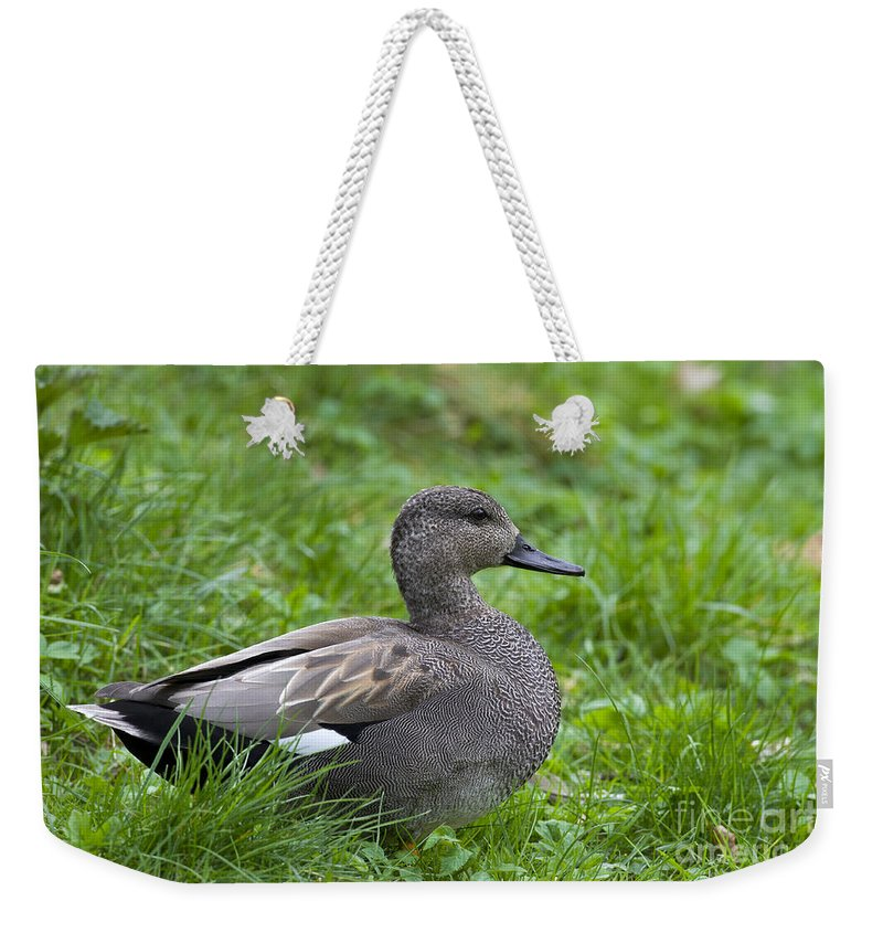 Anas Strepera Weekender Tote Bag featuring the photograph 120520p321 by Arterra Picture Library
