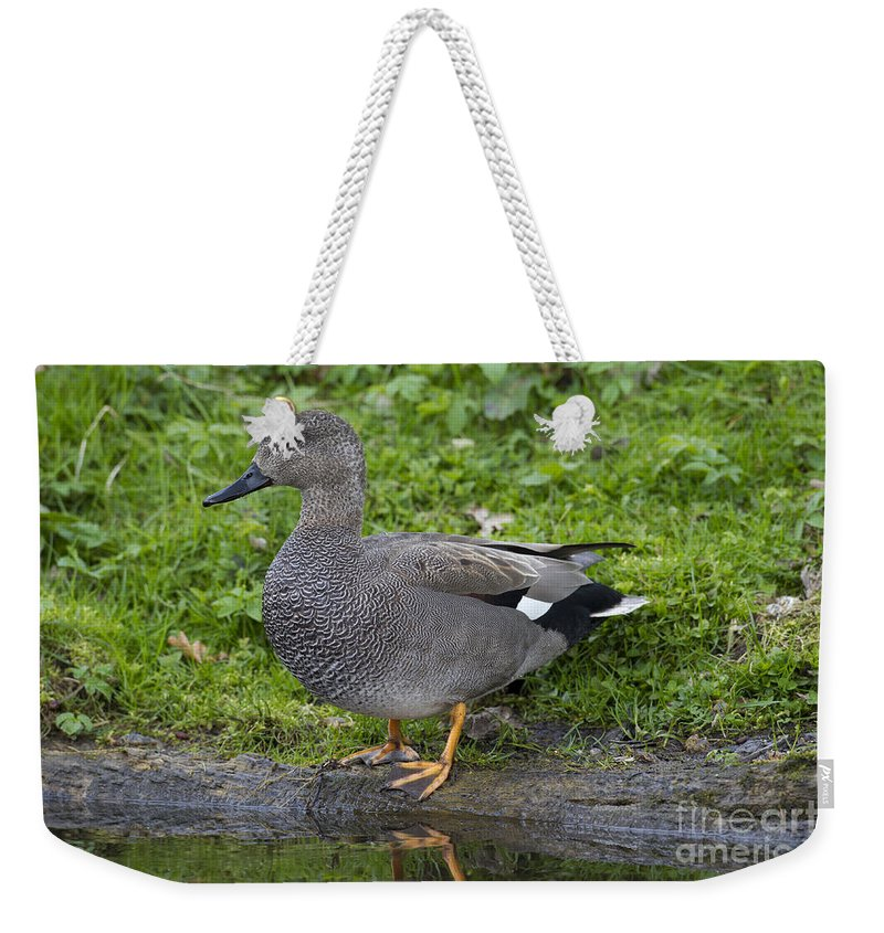 Anas Strepera Weekender Tote Bag featuring the photograph 120520p324 by Arterra Picture Library