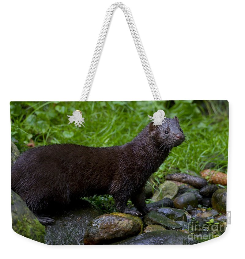 American Mink Weekender Tote Bag featuring the photograph 121213p007 by Arterra Picture Library