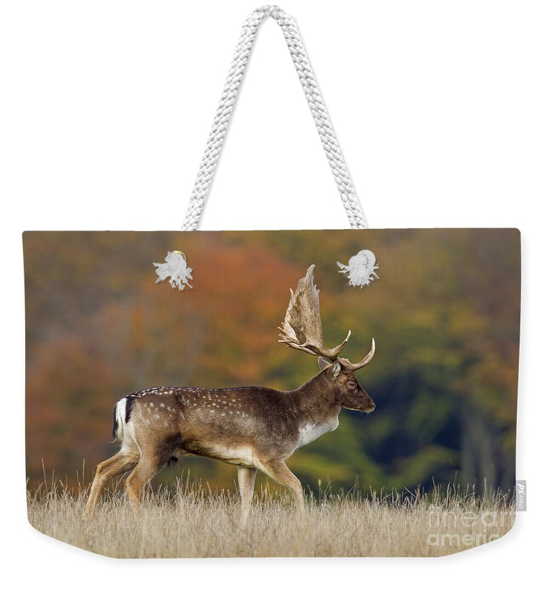 Fallow Deer Weekender Tote Bag featuring the photograph 130201p289 by Arterra Picture Library