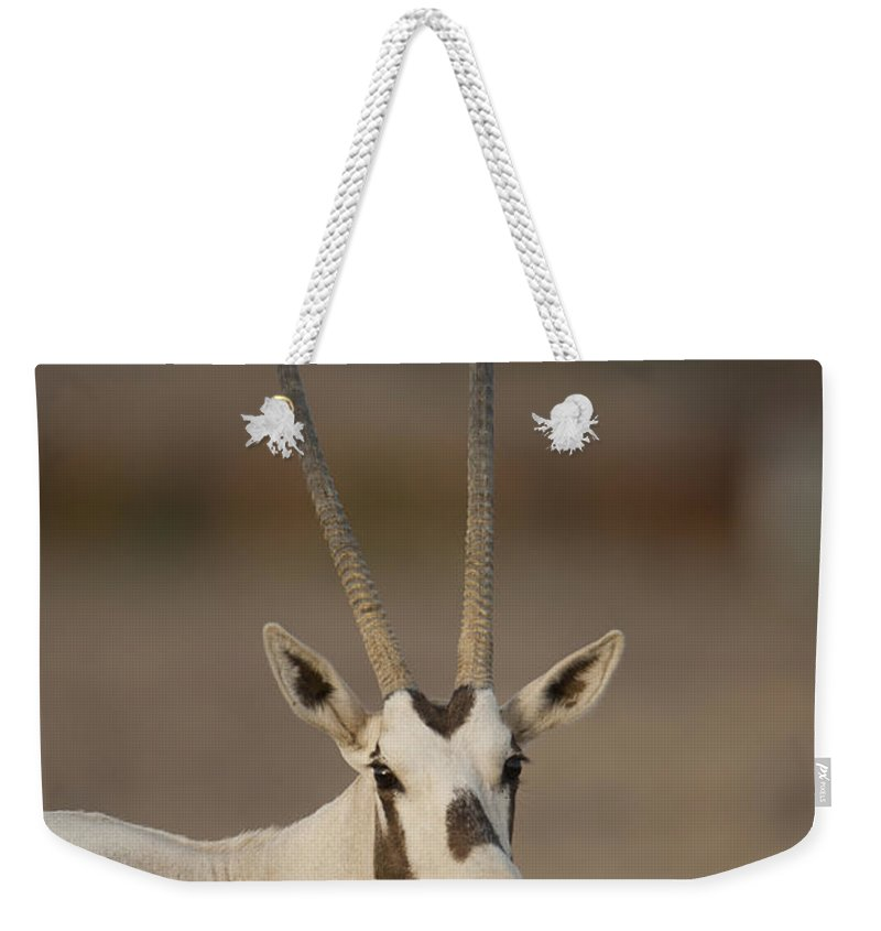 Herd Weekender Tote Bag featuring the photograph Arabian Oryx Oryx Leucoryx by Eyal Bartov