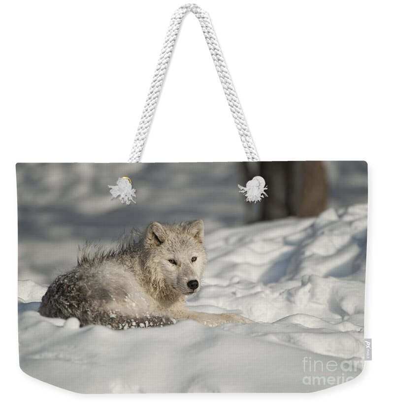 Arctic Wolf Photography Weekender Tote Bag featuring the photograph Arctic Wolf Pup by Wolves Only