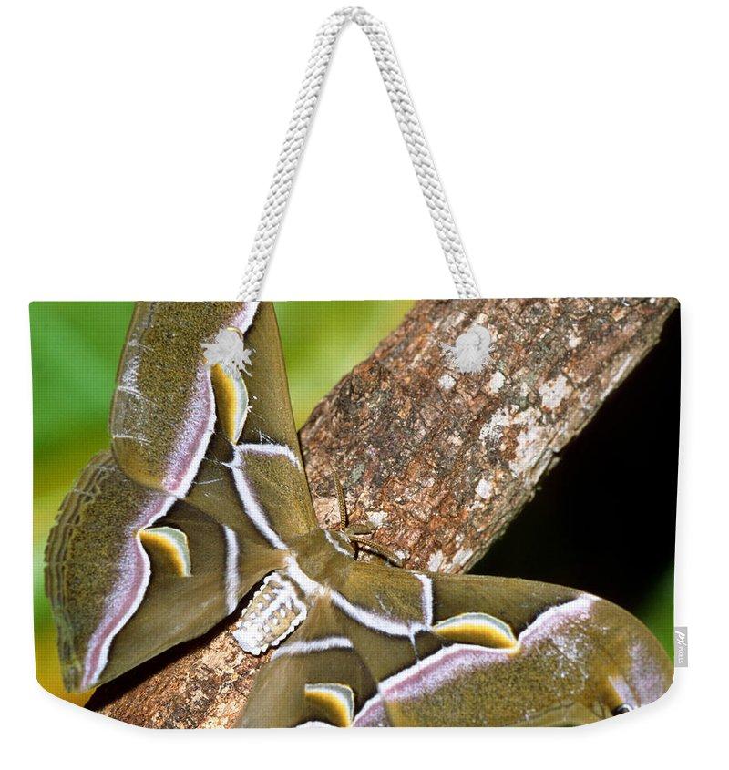Fauna Weekender Tote Bag featuring the photograph Cynthia Silkmoth Samia Cynthia by Millard H. Sharp