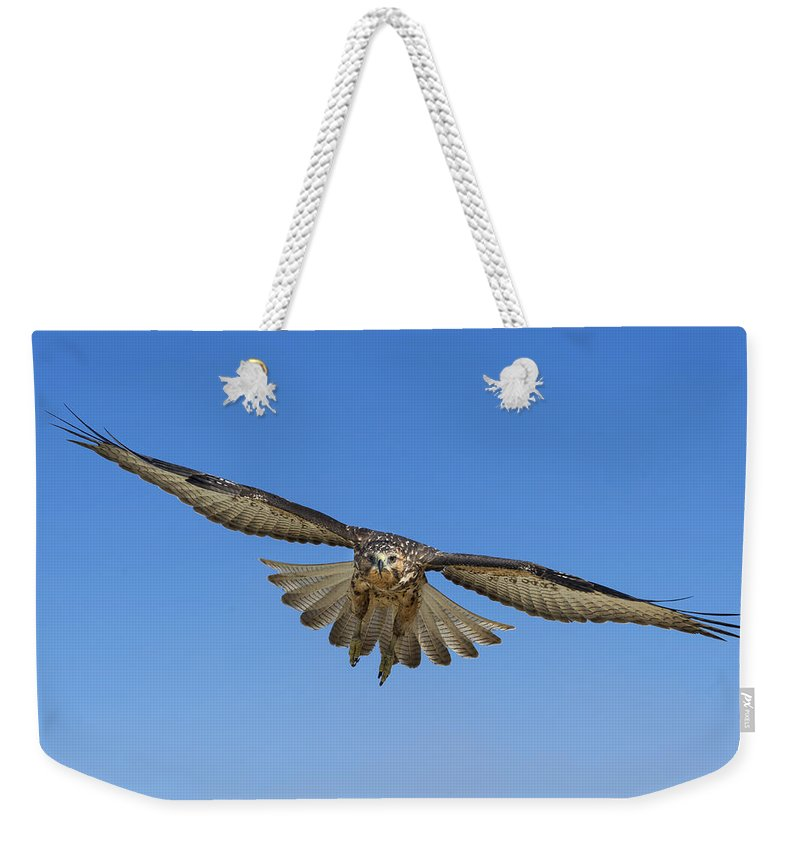 531726 Weekender Tote Bag featuring the photograph Galapagos Hawk Flying Alcedo Volcano by Tui De Roy