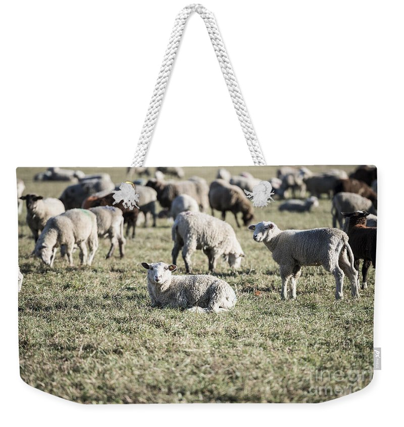 Sheep Weekender Tote Bag featuring the photograph Sheep by Mats Silvan