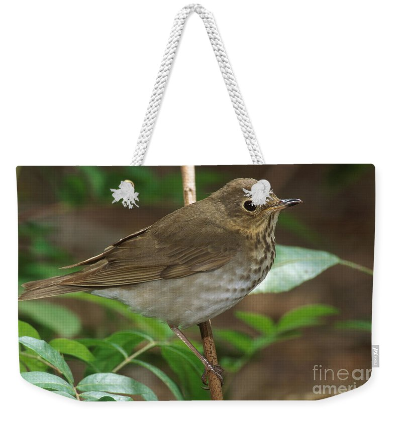 Animal Weekender Tote Bag featuring the photograph Swainsons Thrush by Anthony Mercieca