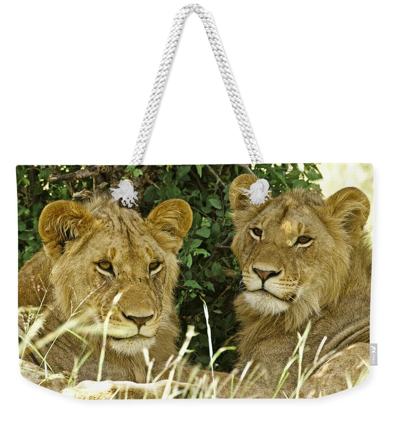 Lion Weekender Tote Bag featuring the photograph Young Brothers by Michele Burgess