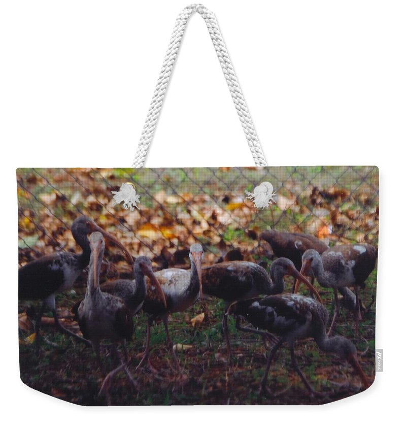 North Ft.myers Weekender Tote Bag featuring the photograph Juvenile Ibis by Robert Floyd
