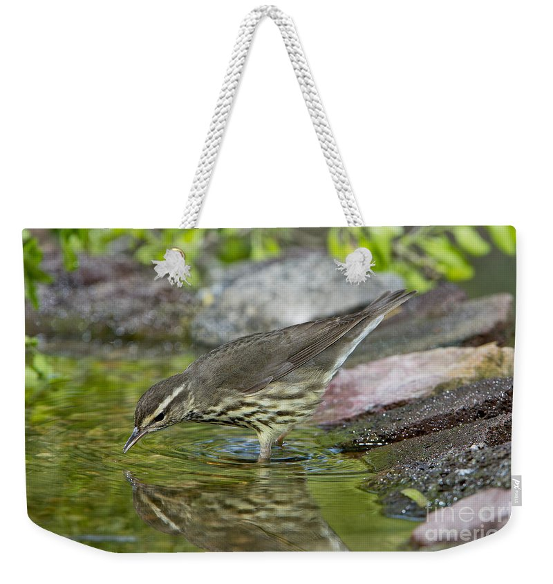 Northern Waterthrush Weekender Tote Bag featuring the photograph Northern Waterthrush by Anthony Mercieca