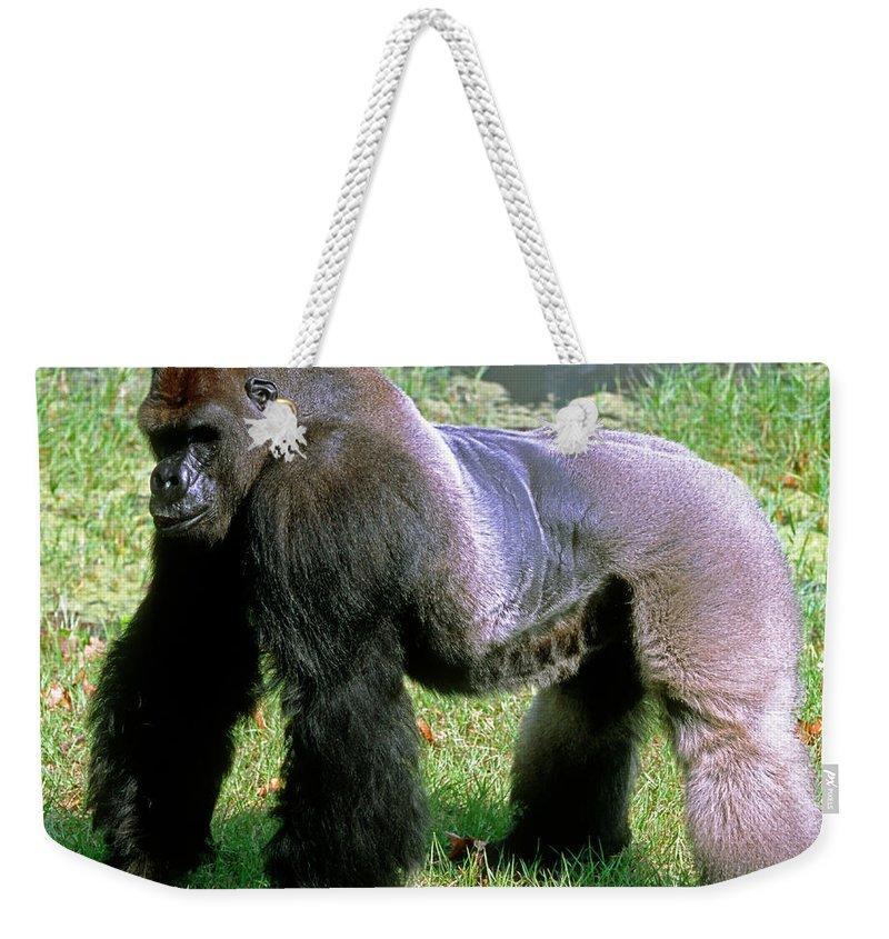 Animal Weekender Tote Bag featuring the photograph Western Lowland Gorilla Silverback by Millard H. Sharp