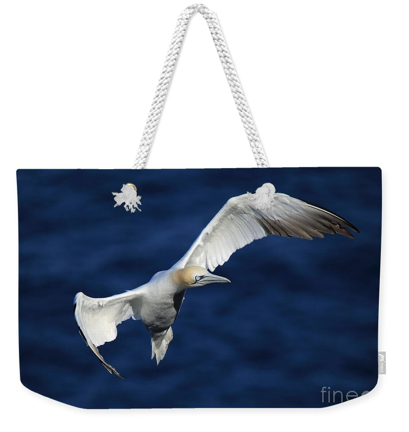 Northern Gannet Weekender Tote Bag featuring the photograph Northern Gannet In Flight by Maria Gaellman