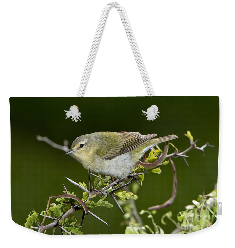 Tennessee Warbler Weekender Tote Bag featuring the photograph Tennessee Warbler by Anthony Mercieca
