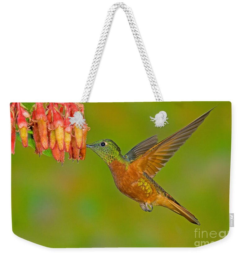 Fauna Weekender Tote Bag featuring the photograph Chestnut-breasted Coronet by Anthony Mercieca