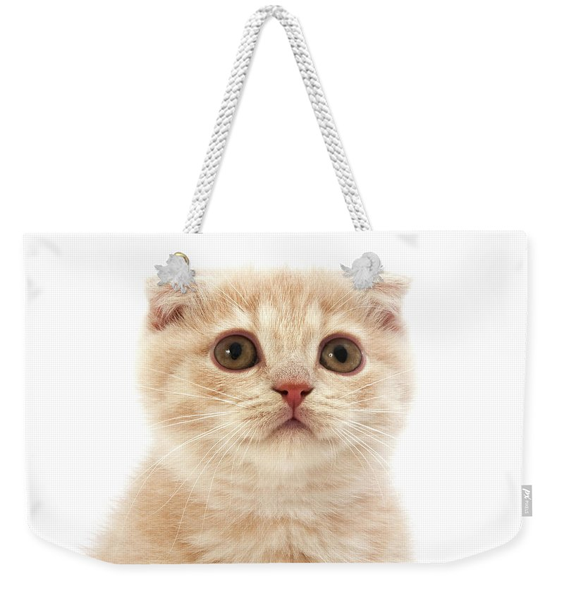Animal Weekender Tote Bag featuring the photograph Scottish Fold Creme by Gerard Lacz