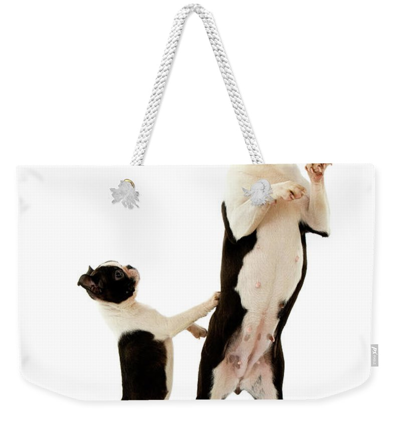 Adult Weekender Tote Bag featuring the photograph Boston Terrier by Gerard Lacz