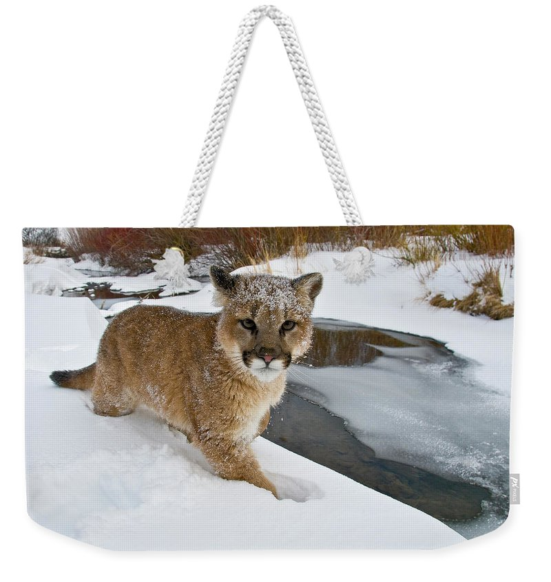 Animals Weekender Tote Bag featuring the photograph Mountain Lions In The Western Mountains by Dennis Fast