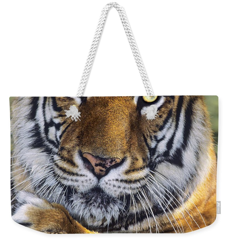 Bengal Tiger Weekender Tote Bag featuring the photograph A Bengal Tiger Portrait Endangered Species Wildlife Rescue by Dave Welling