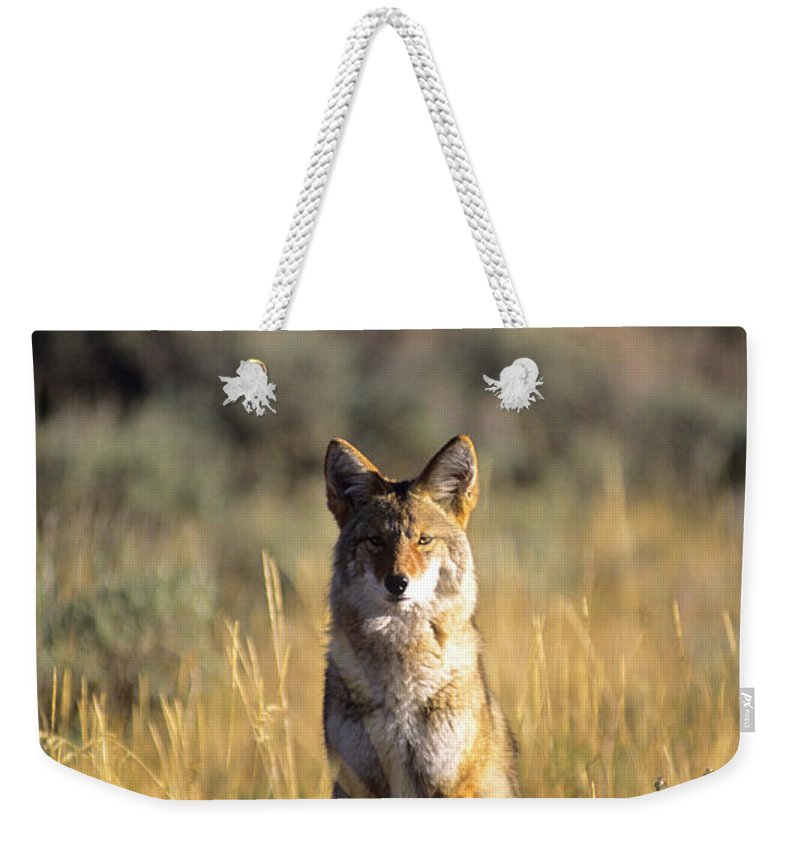 Alert Weekender Tote Bag featuring the photograph A Coyote Canis Latrans Stares by Jeff Diener