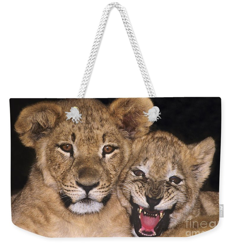 African Lions Weekender Tote Bag featuring the photograph African Lion Cubs One Aint Happy Wldlife Rescue by Dave Welling