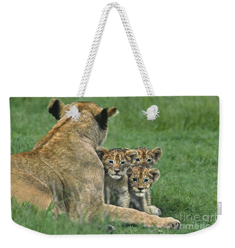 Africa Weekender Tote Bag featuring the photograph African Lion Cubs Study The Photographer Tanzania by Dave Welling