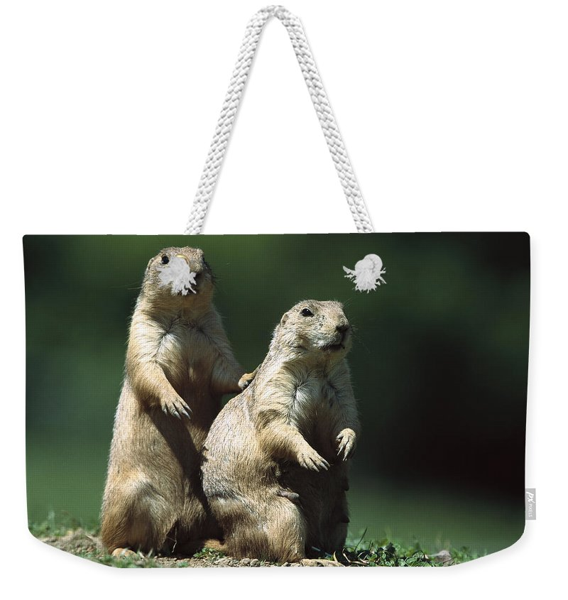 Feb0514 Weekender Tote Bag featuring the photograph Alert Black-tailed Prairie Dogs by Konrad Wothe