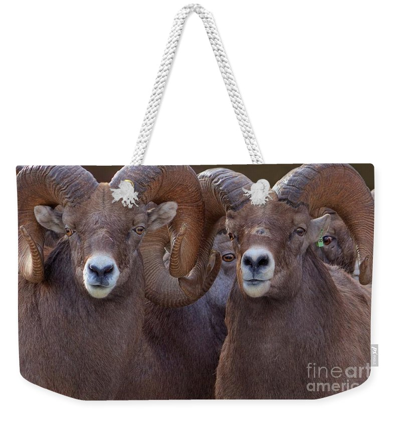 Bighorn Ram Weekender Tote Bag featuring the photograph All Eyes by James Anderson