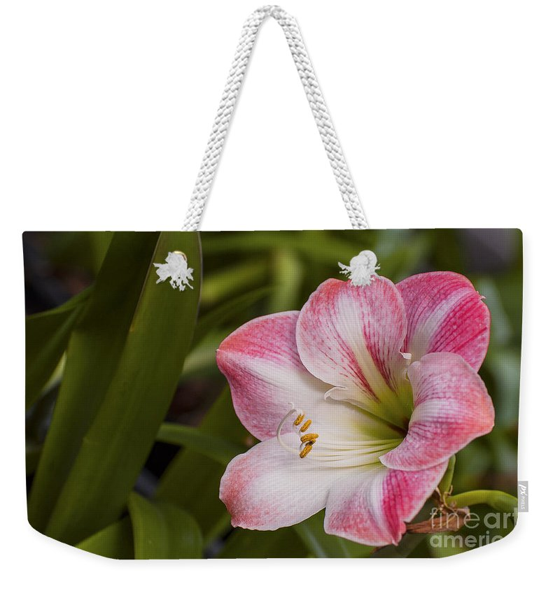 East Maui Hawaii Amaryllis Bloom Belladonna Lily Flower Flowers Blooms Bloom Blossom Blossoms Nature Weekender Tote Bag featuring the photograph Amaryllis Bloom by Bob Phillips