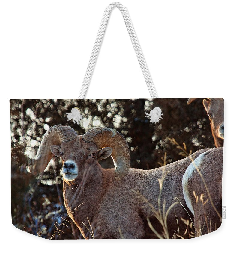 Bighorn Sheep Weekender Tote Bag featuring the photograph An Icy Stare by Jim Garrison