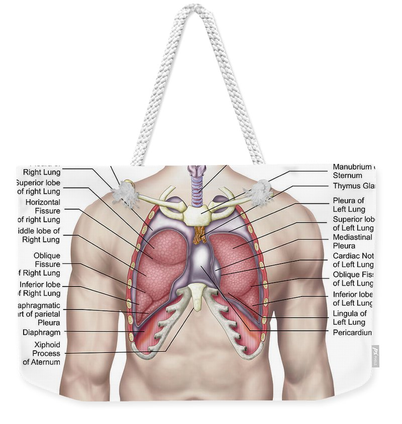Lung Anatomy Lingula Images - human body anatomy