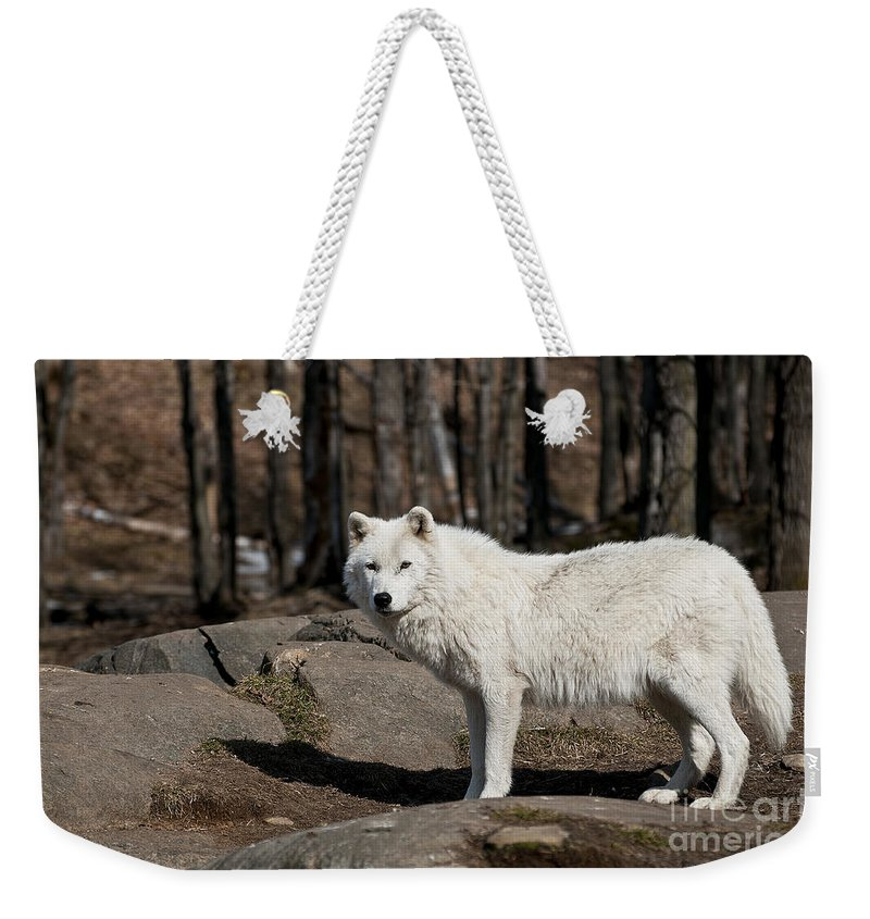 Arctic Wolf Greeting Cards Weekender Tote Bag featuring the photograph Arctic Wolf Pictures 512 by World Wildlife Photography