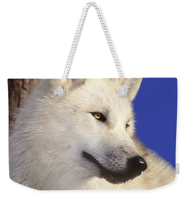 Arctic Wolf Weekender Tote Bag featuring the photograph Arctic Wolf Portrait Wildlife Rescue by Dave Welling