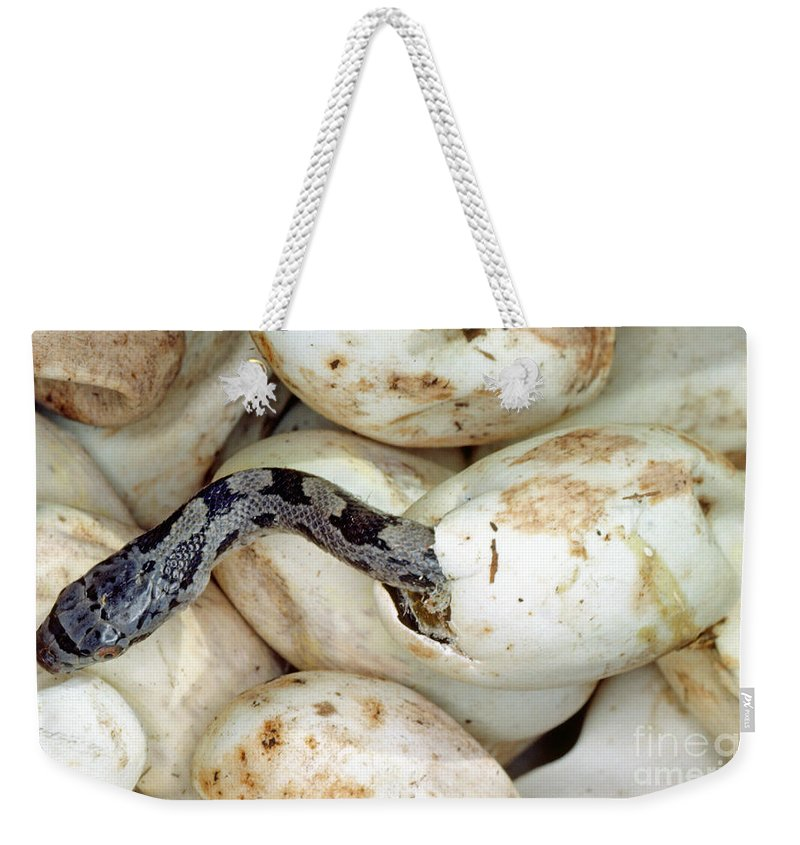 Hatchling Weekender Tote Bag featuring the photograph Baby Black Rat Snake by Millard H. Sharp