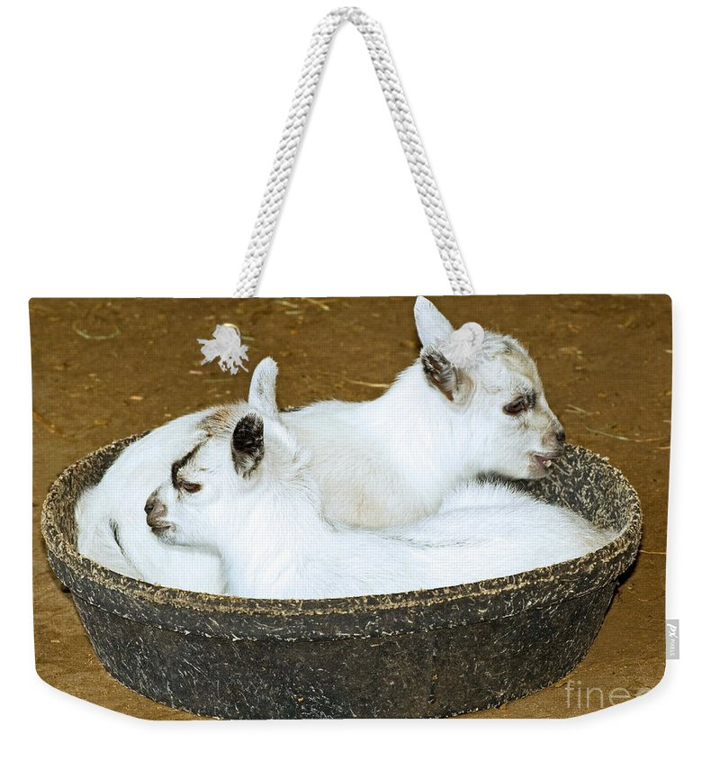 Animal Weekender Tote Bag featuring the photograph Baby Goats Lying In Food Pan by Millard H. Sharp