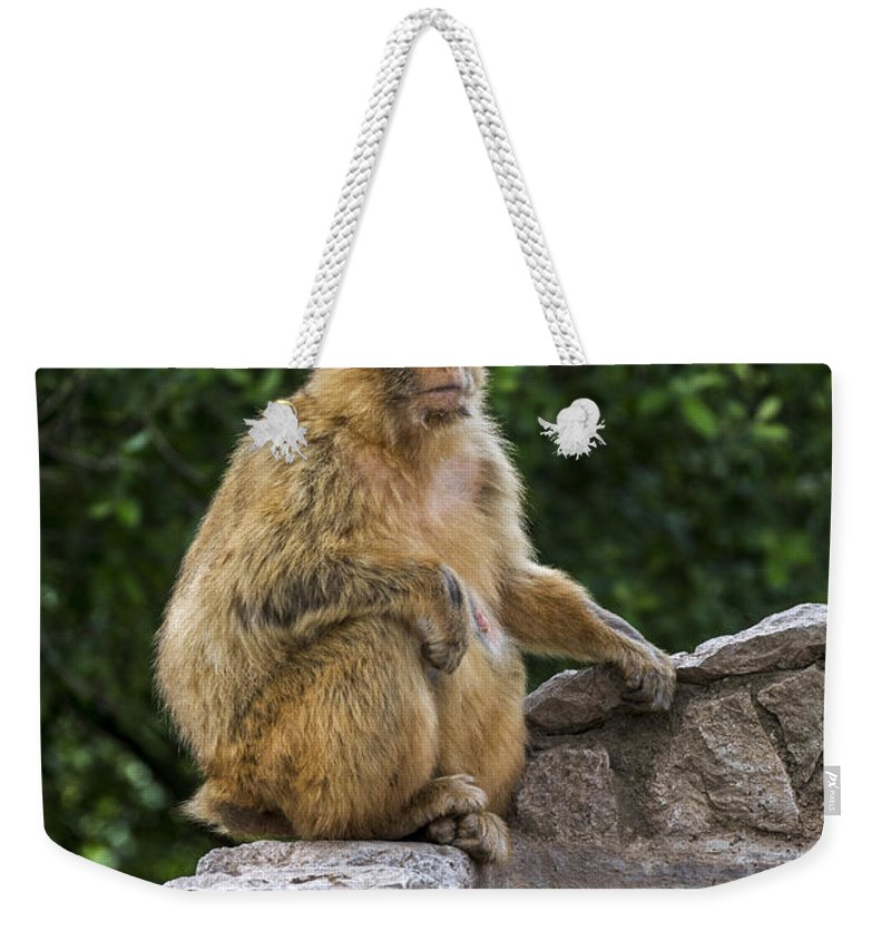Barbary Macaque Weekender Tote Bag featuring the photograph Barbary Macaque by Arterra Picture Library