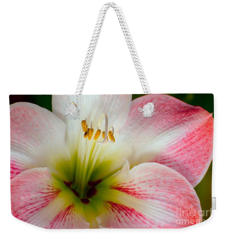 East Maui Hawaii Amaryllis Bloom Belladonna Lily Flower Flowers Blooms Bloom Blossom Blossoms Nature Weekender Tote Bag featuring the photograph Belladonna Lily Detail by Bob Phillips