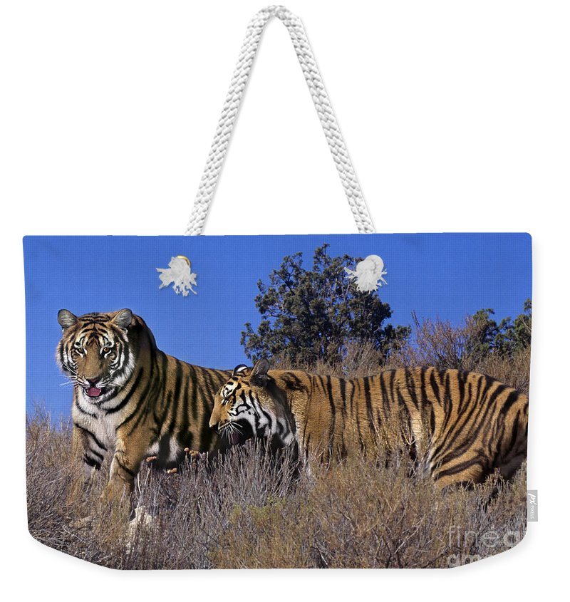 Bengal Tigers Weekender Tote Bag featuring the photograph Bengal Tigers On A Grassy Hillside Endangered Species Wildlife Rescue by Dave Welling