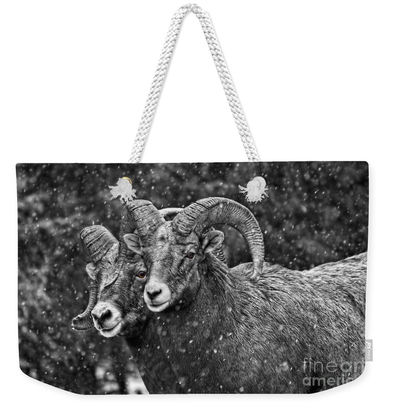 Bighorn Sheep Weekender Tote Bag featuring the photograph Bighorn Brothers In Grey Colorized by James Anderson