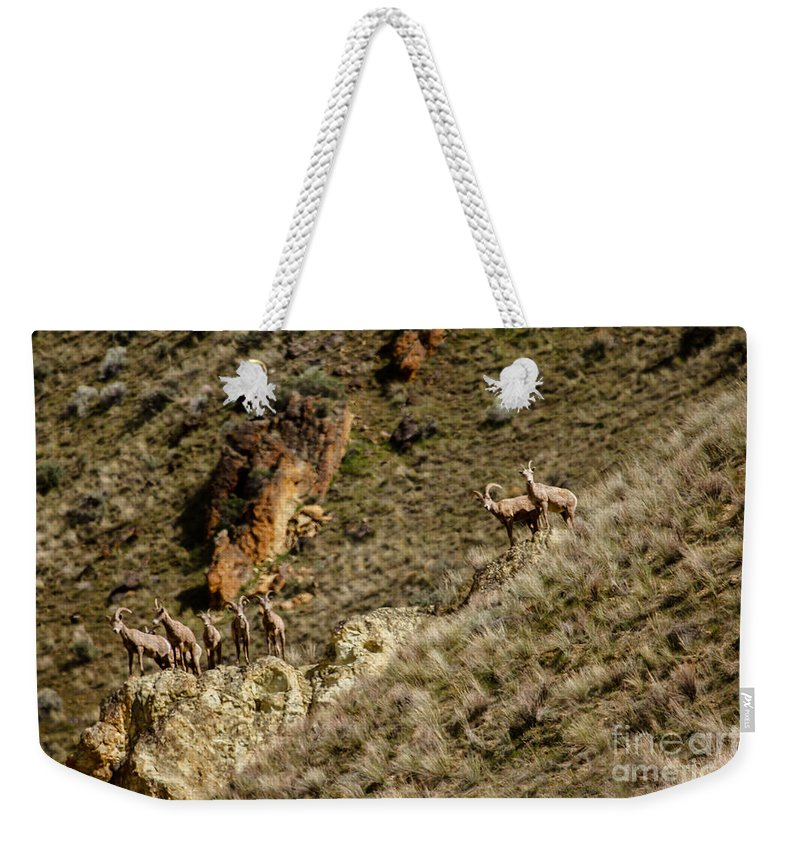 Sheep Weekender Tote Bag featuring the photograph Bighorn Sheep by Robert Bales