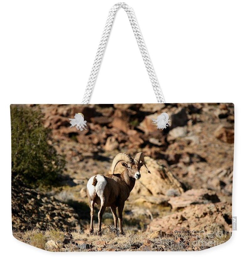 Wildlife Weekender Tote Bag featuring the photograph Bighorn Stare by Gary Emilio Cavalieri