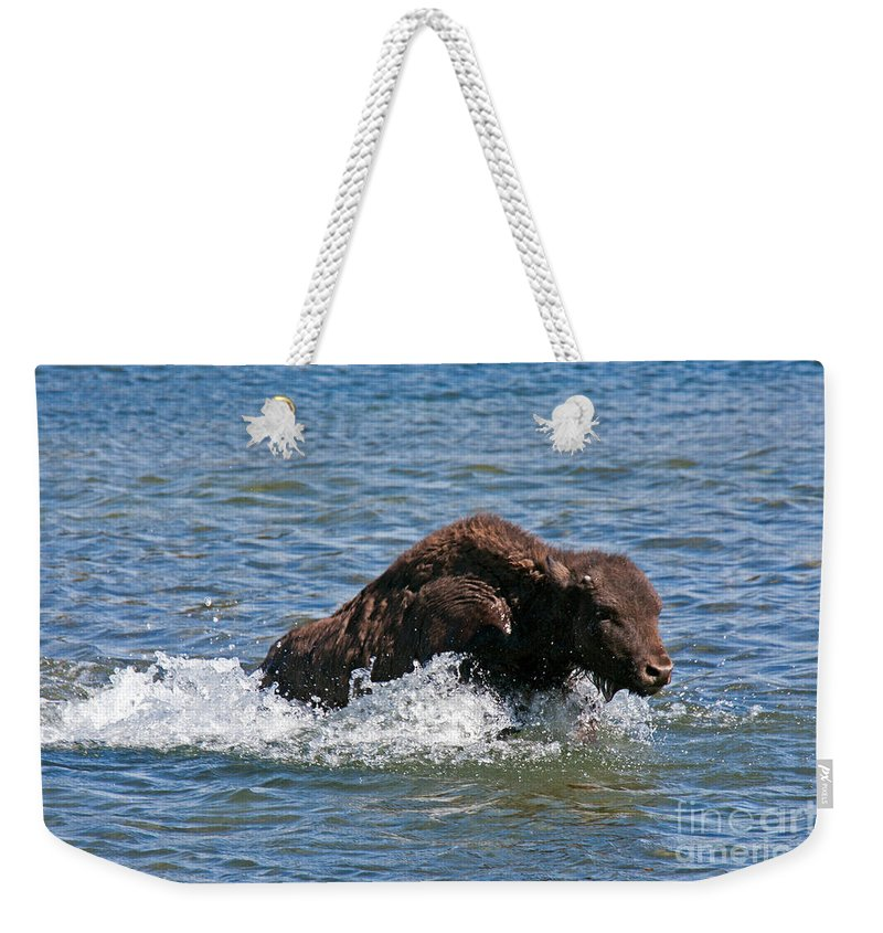 Afternoon Weekender Tote Bag featuring the photograph Bison Calf Running After Mama In Yellowstone National Park by Fred Stearns