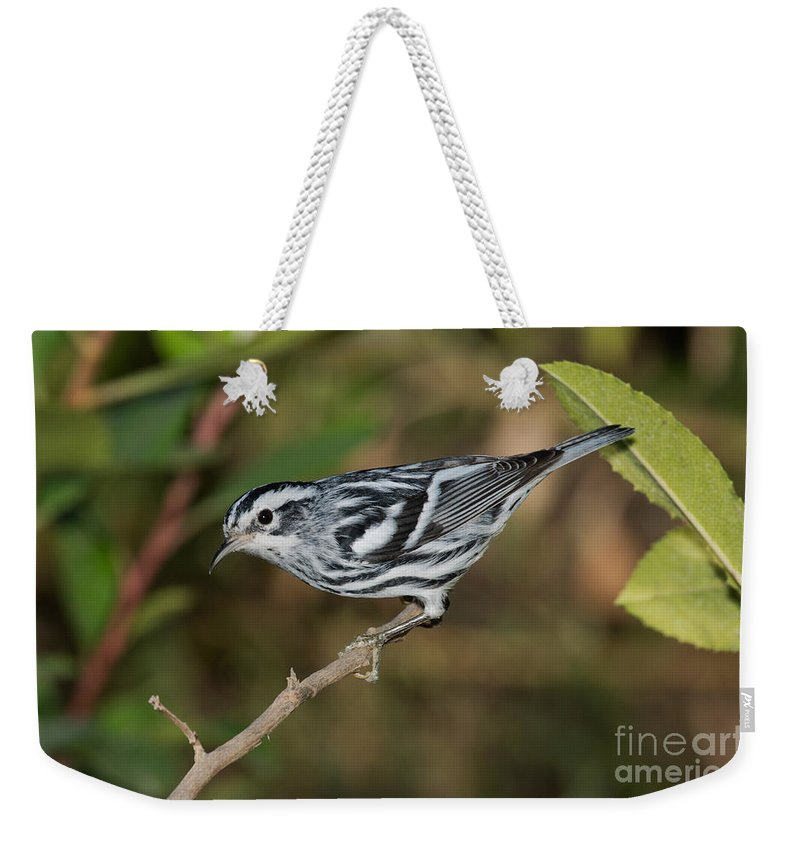 Fauna Weekender Tote Bag featuring the photograph Black And White Warbler by Anthony Mercieca