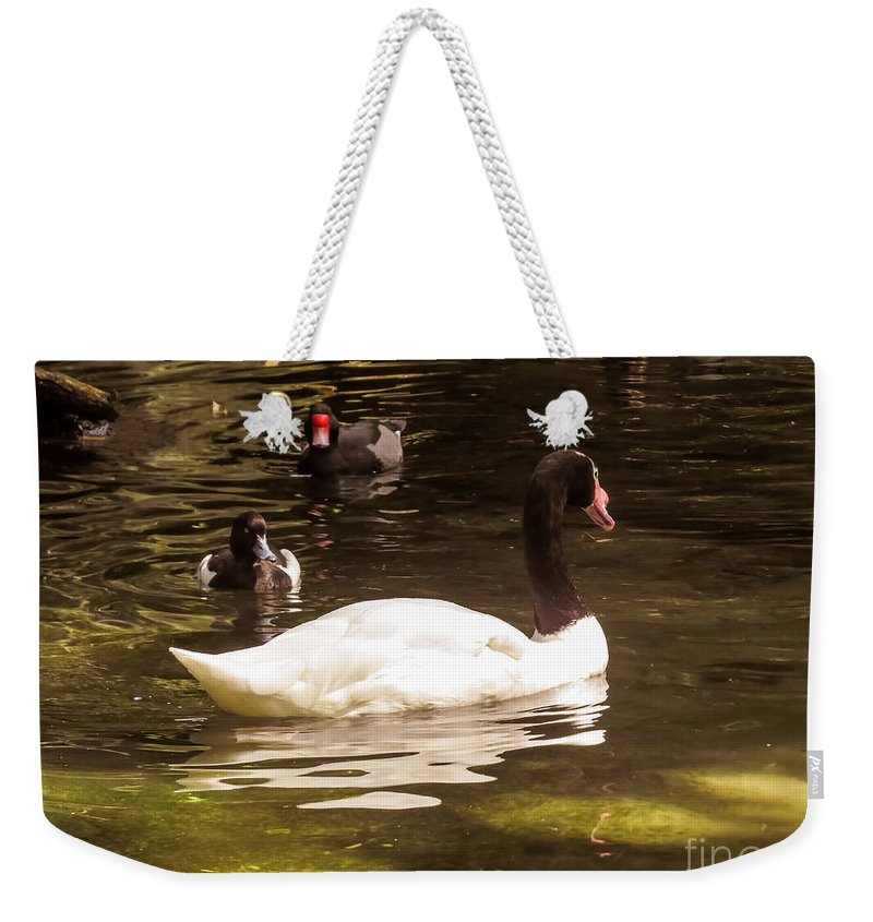 Swan Weekender Tote Bag featuring the photograph Black-necked Swan by Zina Stromberg