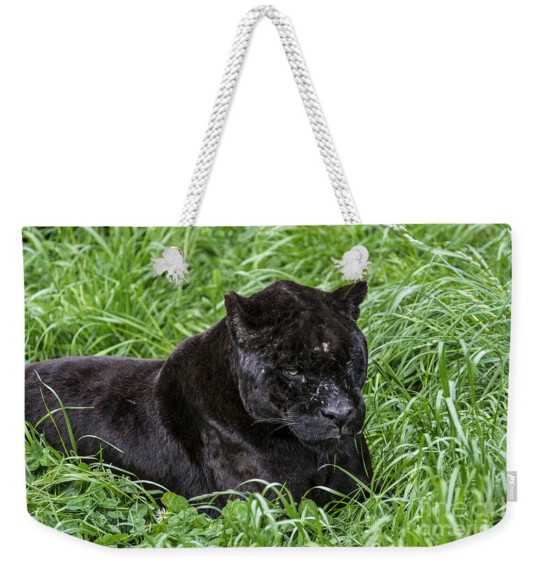 Melanistic Weekender Tote Bag featuring the photograph Black Panther by Arterra Picture Library