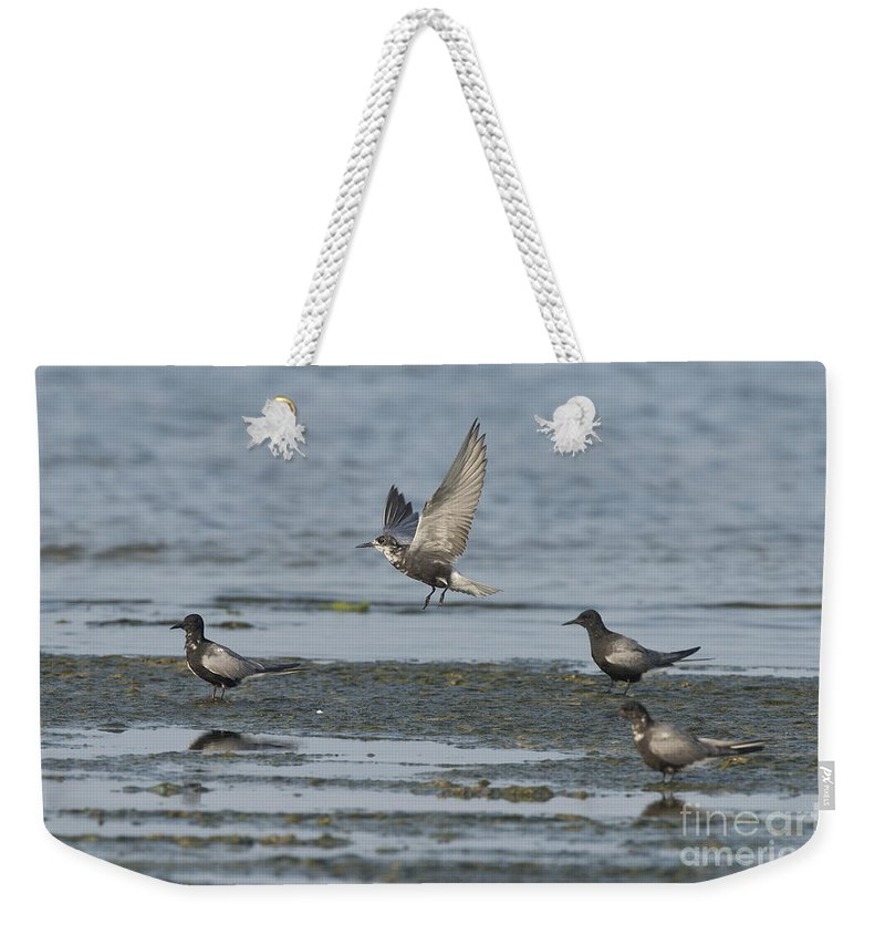 Black Tern Weekender Tote Bag featuring the photograph Black Terns by Anthony Mercieca
