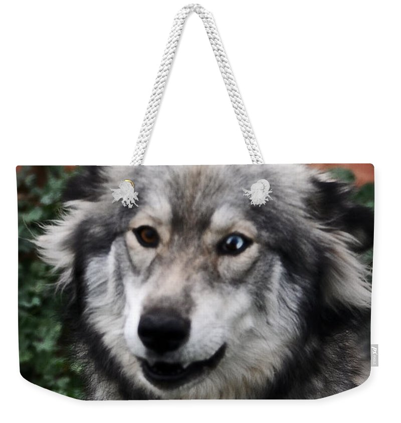 Huskies Weekender Tote Bag featuring the painting Blue And Brown Eyed Husky by Doc Braham