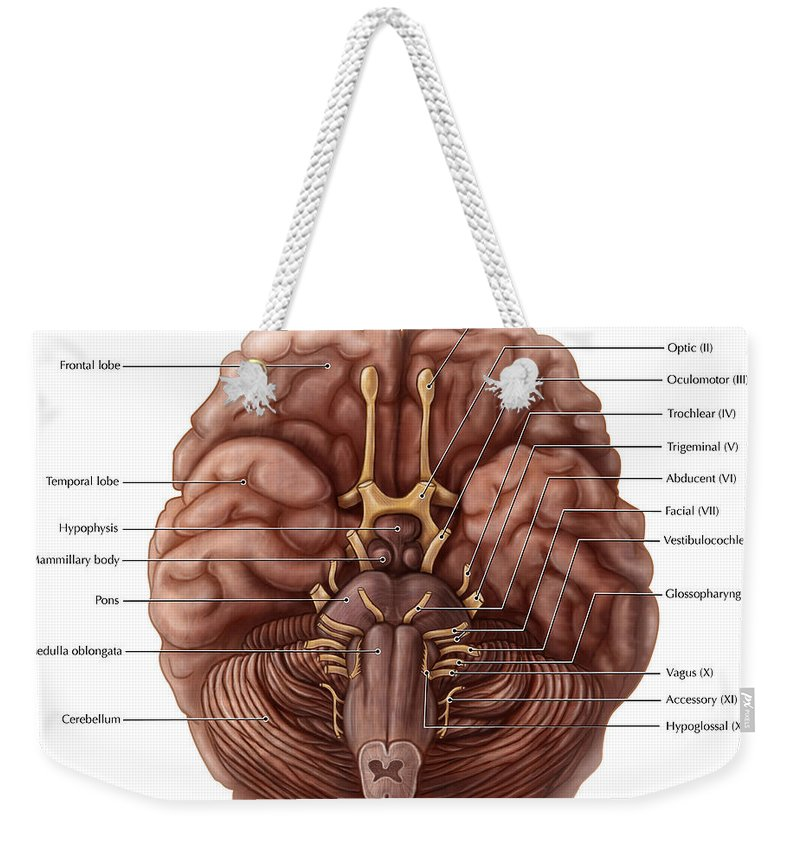 Anatomical Weekender Tote Bag featuring the photograph Brain And Cranial Nerves by Evan Oto