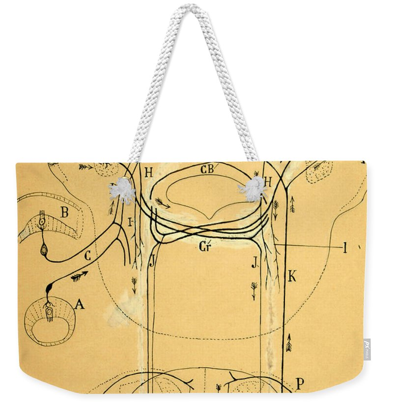 Vestibular Connections Weekender Tote Bag featuring the drawing Brain Vestibular Sensor Connections by Cajal 1899 by Science Source