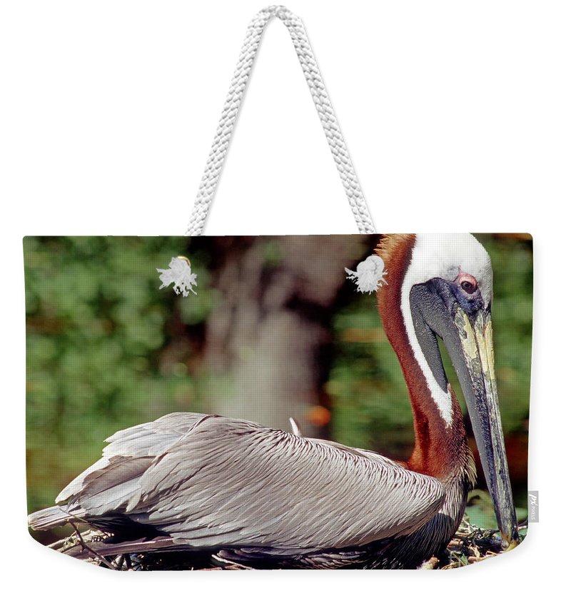 Animal Weekender Tote Bag featuring the photograph Brown Pelican Incubating Eggs by Millard H. Sharp