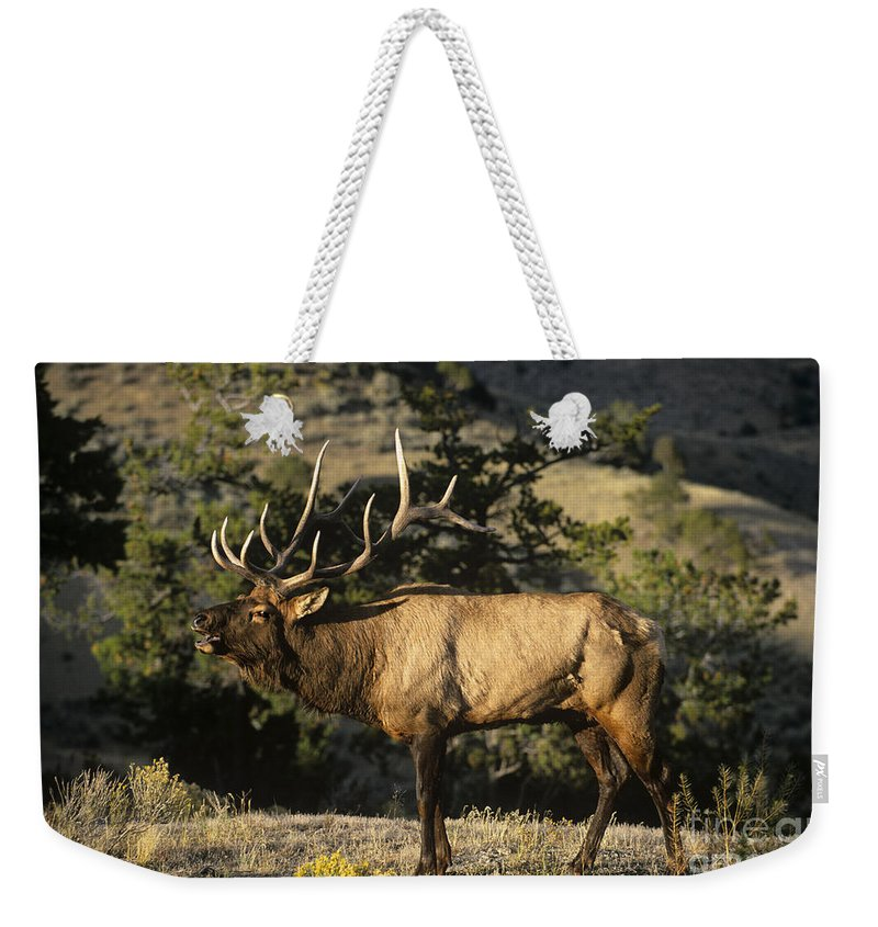 North America Weekender Tote Bag featuring the photograph Bull Elk In Rut Bugling Yellowstone National Park by Dave Welling