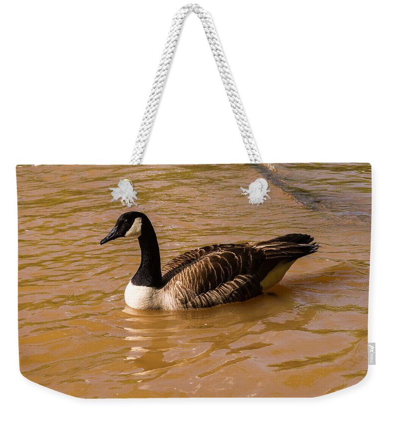 Goose Weekender Tote Bag featuring the photograph Canadian Goose In On Golden Pond by Douglas Barnett